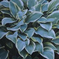 Hosta 'Dress Blues' (Funkia) - hosta__dress_blues_[1].jpg